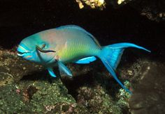 The Princess parrotfish (Scarus taeniopterus) is a tropical reef fish, typically 20 to 25 cm long, found in the Caribbean, South Flori. Worlds Cutest Animals, Animals And Pets, Cute Animals, Parrot Fish, Rainbow Fish, Red Sea, Tropical Fish, Aquarium Fish, Under The Sea