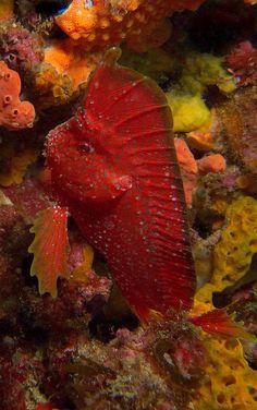 ღღ Whiskered Prowfish - Western Australia