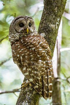 Barred Owl - by Thelma Gatuzzo