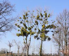 Maretak (Mistletoe)