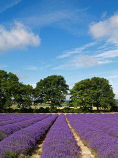 English Lavender Fields near Selborne in Hampshire.