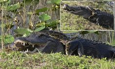 Alligator and python photographed locked in combat