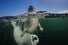 female harp seal + pup - gulf of st. lawrence above prince edward island - photo jennifer hayes + national geographic