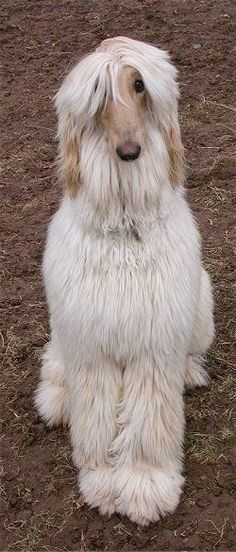 Afghan hound saying, 'where's the DecoFun bow for my neck? www.decofunbowmaker.com