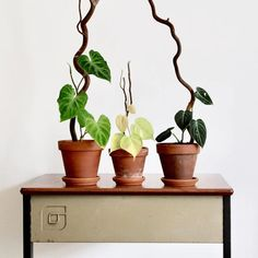 I need to stake a few of my plants, and I really like the look of these wood pieces vs. a moss pole (not my images, found online.) Has anybody done this? What's the best type of wood to avoid rot? Where can I get it? : houseplants Air Plants, Potted Plants, Garden Plants, Indoor Plants, Indoor Gardening, House Plants Decor, Plant Decor, All About Plants, Decoration Plante