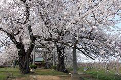 飯綱神社の桜 4/15(満開)