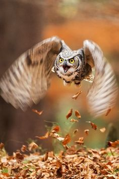 PetsLady's Pick: Totally Cool Owl Flight Of The Day  ... see more at PetsLady.com ... The FUN site for Animal Lovers