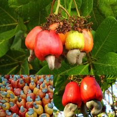 Marañon is the Salvadorian name for the cashew fruit. Jugo de marañon is cashew juice, a light sweet juice somewhat similar to guava juice and almond milk combined. Semilla de marañon is the seed, the actual cashew nut.