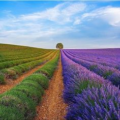 Campos Lavanda en Provence, Francia