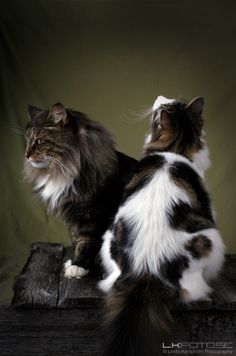 Norwegian Forest Cat ~K~ Purrkiddee looks like the cat on the right !~A~She does, maybe she has some in her.
