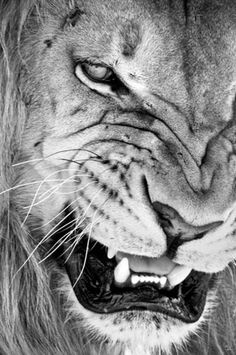 Un lion qui copie un lion devient une singe. / Do not imitate anything or anyone, a lion that mimics an other lion becomes a monkey. Beautiful Creatures, Animals Beautiful, Beautiful Lion, Animal Original, Animals And Pets, Cute Animals, Wild Animals, Angry Animals, Animals Images