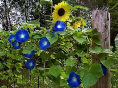 Sunflower and Morning Glory House