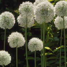 white allium - gotta get me some of these