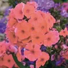 Pflanzen-Kölle Flammenblume orange, 11 cm Topf.  Die Flammenblume 'Adessa® Orange' garantiert langanhaltenden Blütenreichtum in leuchtendem Orange für Beete und Rabatten.