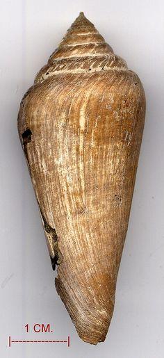 Fossil--Conus puschi (Mioceno)