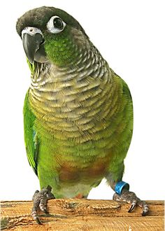 Green Cheek Conure (?) thinks he's the biggest, baddest hawk there is, which is why he showed up for the hawk search