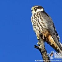 European Hobby by Marius Coetzee Central And Eastern Europe, Bird Watching, Tours, Vacation, Adventure, Gallery, Vacations, Roof Rack, Holidays Music