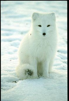 Does Global Warming Effect Lemmings and Arctic Foxes?