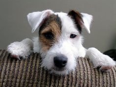 parson jack russell terrier - Same pose as our boy Jackson in the lawn chair picture, so cute. Chien Jack Russel, Parson Jack Russell, Jack Russell Puppies, Parson Russell Terrier, I Love Dogs, Cute Dogs, Dogs And Puppies, Maltese Puppies, Doggies
