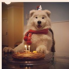 My Samoyed will look amazing in thematic clothing, and eat dog cake on his birthday.