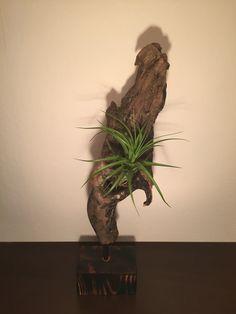 Driftwood Uszadékfából készített dísz, élő növénnyel