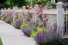 Lavender along a fence. Pairs beautifully with pink and lime green.