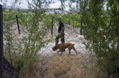 A private security guard walks with a dog on a grape farm in the Western Cape in January Photo: AFP/Rodger Bosch