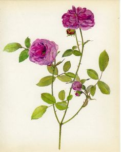 Vintage Rose Print, Rubifolia, European Flower, Cabbage Rose, Botanical (37) Natural History, Blossom Art, 1966, Kaplicka