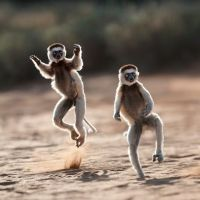 Dancing Sifaka by Dale Morris. For more info and a chance to see this please visit www.oryxwildlifesafaris.com