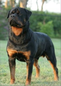 German Rottweiler, Rottweiler Love, Rottweiler Puppies, Big Dogs, Large Dogs, Cute Dogs, Dogs And Puppies, Doberman Dogs, West Highland Terrier