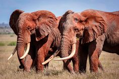 Join The Askari Project on a great tusker safari to save Africa's elephants!