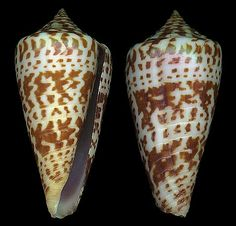 Asprella inscripta adenensis  Smith, E.A., 1891		 Shell size 32 - 65 mm	 NW Indian Ocean