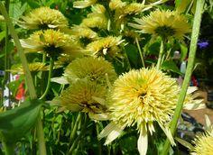 www.rustica.fr - Echinacées party ! 12 variétés à découvrir