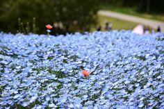 満開のネモフィラ ~国営ひたち海浜公園 Nemophila(Baby blue eyes) Blossoms in Hitachi Seaside Park,Ibaraki,Japan