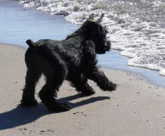 "Figure out more details on ""standard schnauzer"". Check out our web site. Black Schnauzer, Standard Schnauzer, Giant Schnauzer, Schnauzer Puppy, Pet Puppy, Schnauzers, Best Dog Breeds, Best Dogs, Cute Puppies"