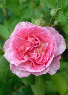 'Madame de Staël' | Hybrid Perpetual, Moss Rose. Bred by Robert and Moreau (France, 1857)