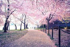 Cherry Blossom Festival Print  Washington DC by AndrewRhodesPhoto