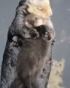 Baby Otter 038 Mom Baby Otter 038 Mom LIV TORRES livtorreslt ANIMALS Newborn sea otter pups are so buoyant they can t immediately nbsp hellip food videos Cute Little Animals, Cute Funny Animals, Cute Dogs, Otters Funny, Otters Cute, Funny Owls, Otter Pup, Otter Meme, Baby Otters