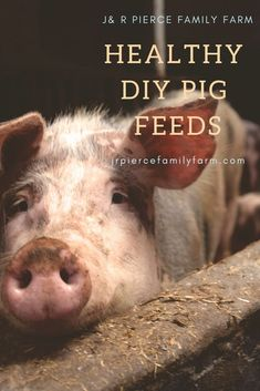 Want to feed your pig on the cheap? Consider these options! Mini Pig Food, Mini Pigs, Raising Farm Animals, Raising Chickens, Kune Kune Pigs, Chicken Garden, Chicken Coops, Pig Feed, Urban Chickens