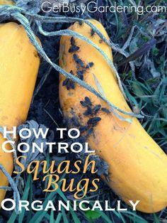 I'm fighting squash bugs in the community garden. If you're in the same boat as I am, here's how to control squash bugs organically. | GetBusyGardening.com