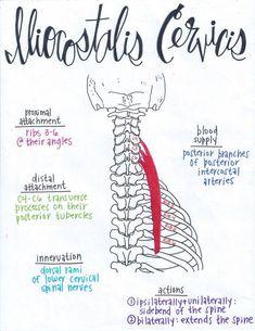 Iliocostalis Cervicis