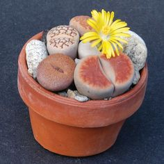 "Lithops spp. (Living Stones)   Lithops  is a genus of succulent plants native to Southern Africa. ""Lithos"" means ""stone"" and ""-ops"" means ""f..."