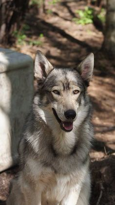 Outlaw of Wolf Sanctuary Horses And Dogs, Animals And Pets, Dogs And Puppies, Northern Inuit Dog, Thai Ridgeback, Czechoslovakian Wolfdog, Dog Breeds Pictures, Irish Terrier, Beautiful Wolves