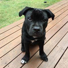 Oscar English Staffordshire Bull Terrier | Pawshake