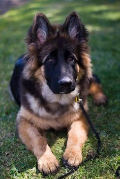 Look at those German shepherd ears! I have a thing for puppy ears.