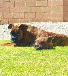 Foto : Um cachorro e um javali