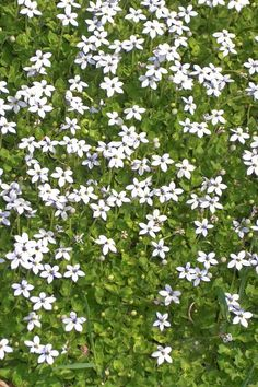 Ground Cover Flowers Blue Star Creeper Easy-to-grow blue star creeper (Isotoma fluviatilis) produces pale-blue flowers that last from spring through early fall. It spreads quickly in filtered light but can also take full sun. Ground Cover Plants Shade, Ground Cover Flowers, Perennial Ground Cover, Shade Plants, Ground Covering Plants, Best Ground Cover Plants, Long Blooming Perennials, Shade Perennials, Flowers Perennials