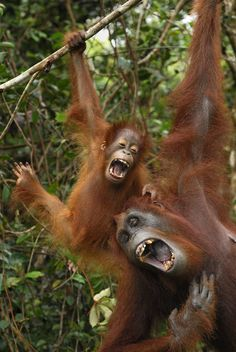 13 Pictures of Beautiful, Endangered Orangutans