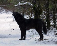 Image result for pure black wolf
