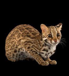 Small Wild Cats, Big Cats, Asian Leopard Cat, Cheetah, Singular, Serval, Havana Brown, Catus, Ocelot
